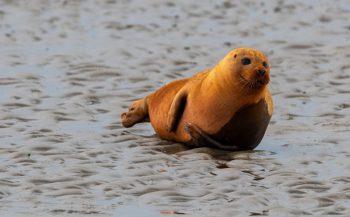 Opmerkelijk: een oranje zeehond