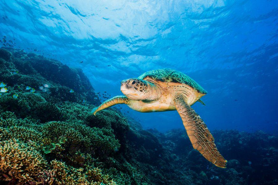 Thalassa_Indonesie_turtle-swimming-past-reef-at-bunaken