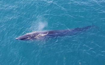 Bijzonder! Gewone vinvis zwemt in Noordzee