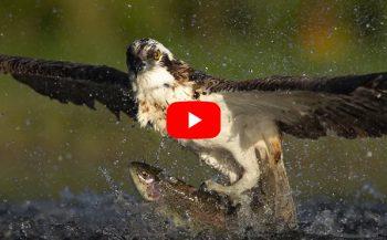 In beeld - Hoe een visarend een forel vangt