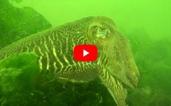 Jeanette Kamphuis - Inktvissen in de Grevelingen