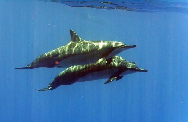 Langsnuitdolfijnen (Bron: Mark Vermeij).