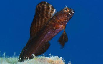 Schuwe sailfin blenny - Het verhaal achter de foto