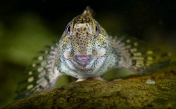 Aaibare steenslijmvis - Het verhaal achter de foto