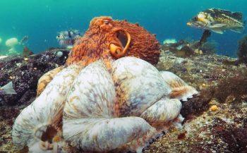 In beeld: Reuzeninktvis