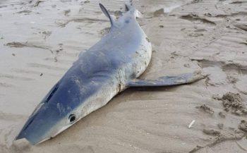 Levende blauwe haai op Zuid-Hollands strand