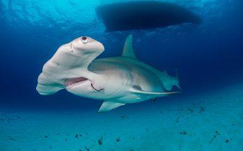 Laatste kans voor haaien