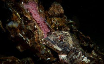 In beeld - Een uur uit het leven van vader zeedonderpad