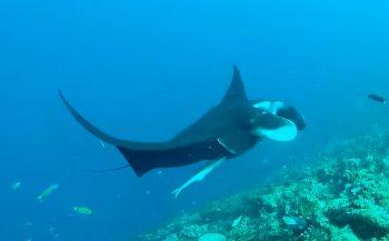 Peter Breugelmans - Duiken met manta rays