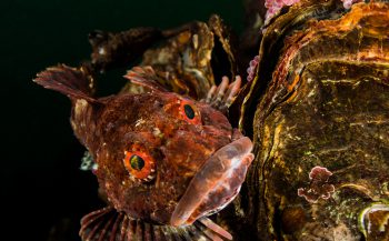 Vader zeedonderpad bewaakt zijn nest - Het verhaal achter de foto