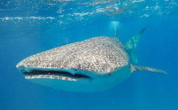Duiken of snorkelen met walvishaaien in Afrika