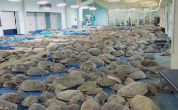 Duizenden zeeschildpadden verlamd door de kou