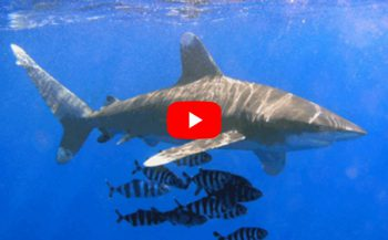Joeri De Paepe - Longimanus haaien