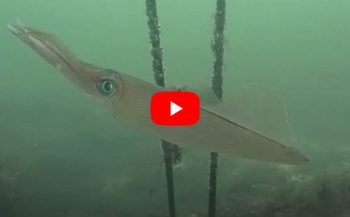 Bert Peters - Pijlinktvissen in de Oosterschelde