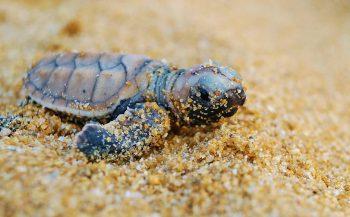 Goed jaar voor karetschildpadden in Maleisië