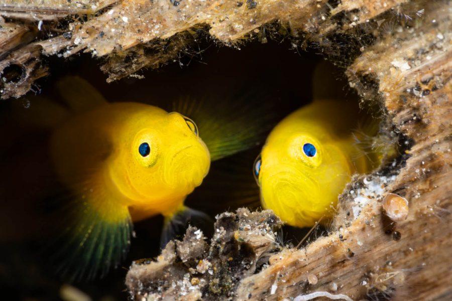 Lembeh Resort - Golden Gobies-Murex_juni2021