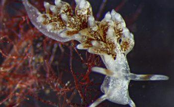 Opmerkelijke waarnemingen van nieuwe soort zeenaaktslak