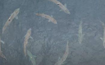 Honderden reuzenhaaien verzamelen zich aan Ierse kust