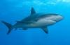 Veel haaienactiviteit tijdens Shark Week