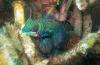 Cindy Dalebout - Battle of the mandarinfish