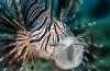 Op 'Lionfish-expeditie' in Belize
