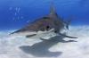 Dutch Caribbean Shark Week - Jörgen Rayman komt op voor de haaien