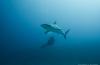 Duiken met de nu beschermde haaien van Sint Maarten