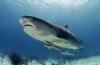 Tiger Beach - Een week vol (tijger)haaien