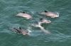 Opnieuw meer bruinvissen in Oosterschelde