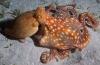 Lia van Nieuwenhuizen - Jagende octopus: fotoserie