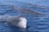 In beeld: Potvissen in Manado Bay