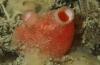 Abrikozen in zeewater: een nieuwe Nederlandse zakpijp