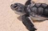 Adopteer een schildpaddennest
