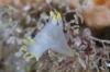 Gloednieuwe harlekijnslak ontdekt in Noordzee