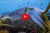 In beeld – Sepia hypnotiseert prooi