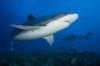 Duiken met haaien als je ongesteld bent?