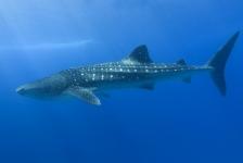 Wat is de grootste haai?