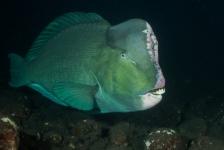 Mirjam van der Sanden – Vroege duik met Bultkoppagegaaivissen