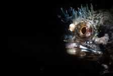 Joost Boerman – Roughhead Blenny