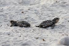 71 schildpadjes gered op Bonaire