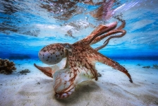 Dansende octopus wint Underwater Photographer of the Year 2017