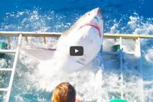 In beeld: Witte haai belandt in kooi…