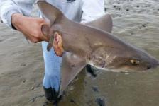Gevlekte gladde haai gered van droogvallend wad