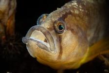 Waarom heeft een botervis soms gele vinnen?