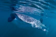 Leendert Smit – Walvishaaien in Bahia de los Angeles