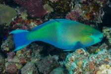 Waarom eet een papegaaivis koraal?