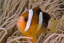 Clownvissen profiteren van klimaatverandering