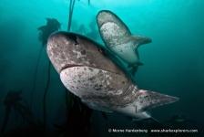 Sharkroute: Prehistorische 7gill- en kathaaien