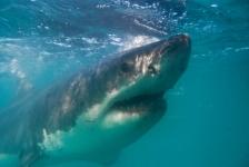 De grote witte haai