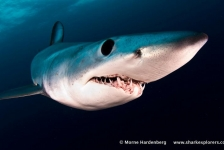 Sharkroute – Blues & makos